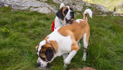 A Brief History of the St. Bernard Rescue Dog
