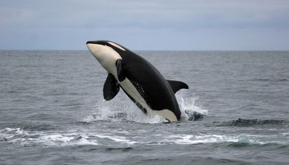 After Menopause, Killer Whale Moms Become Pod Leaders