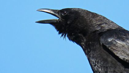 Crows Are Even Smarter Than We Thought