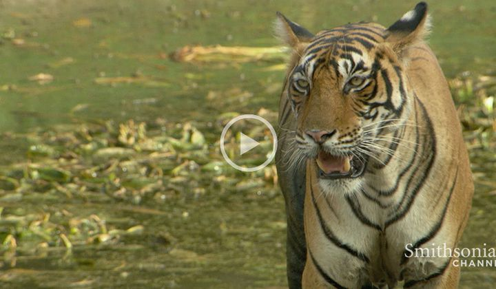 Tigers Use Urine to Find Out If There is Chemistry