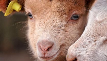 What Do Goats, Puppies and Horses Have in Common?