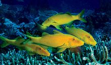 Yellow saddle goatfish