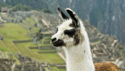 Llama Antibodies May Be the Key to Flu Prevention