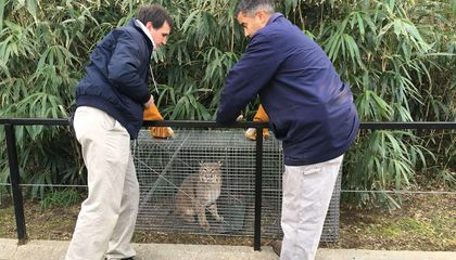 Ollie the Bobcat Is Back at the Zoo and Off the Streets of Washington, D.C.