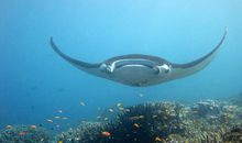 Teeming Manta Ray Nursery Discovered in the Gulf of Mexico