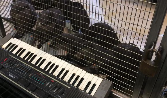 Preview thumbnail for video'Otters Play a Piano at the National Zoo