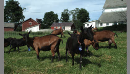 Hay Fever: Goat Farming and Cheesemaking in Vermont