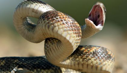 To Scientists' Surprise, Even Nonvenomous Snakes Can Strike at Ridiculous Speeds