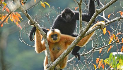 Rope Bridges Save the Most Endangered Primates From Making Death-Defying Leaps