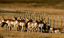 Grand Teton herd of pronghorns