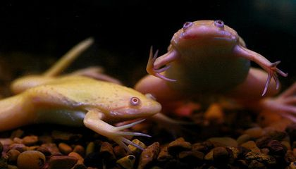 Doctors Used to Use Live African Frogs As Pregnancy Tests