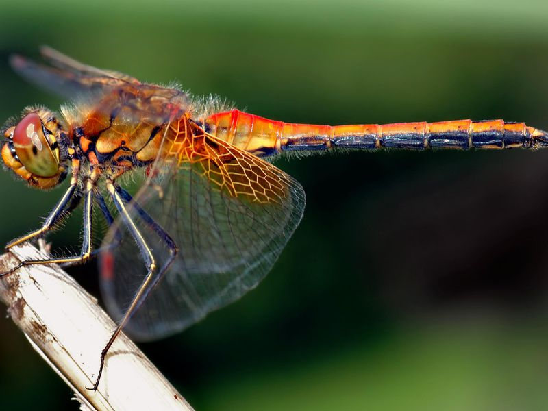 This image shows an about 1.6 inch (4 cm) large male Yellow-winged Darter (Sympetrum flaveolum) from the side