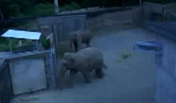 Preview thumbnail for video'Elephants Investigate Mirror