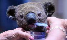 Australia Faces 'National Tragedy' After Koala Population Takes Hit in Recent Brushfires