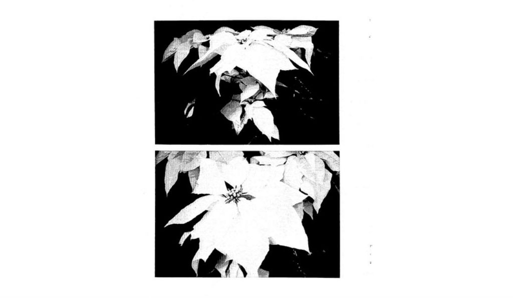A new white poinsettia, which the Ecke Family patented in 1980.