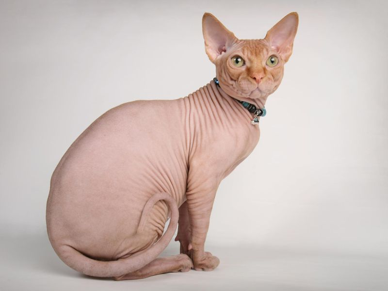 Image result for bald cat head