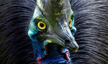 Cassowary bird at Lahore Zoo