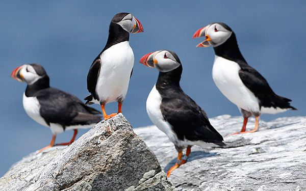 Puffins in peril  want to help?