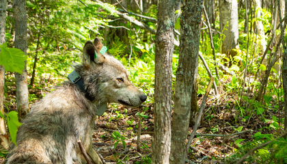 Experience a Day in the Life of a Wild Wolf, as Seen in Stunning Collar-Cam Footage