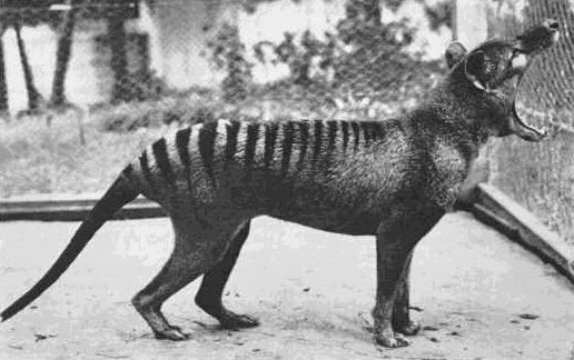 Remembering The Tasmanian Tiger 80 Years After It Became Extinct Smart News Smithsonian Magazine