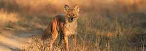 Change the Future for The Dhole