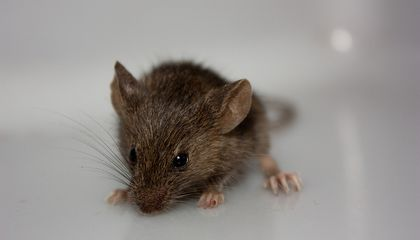 Mouse Cloned From Its Parent's Blood