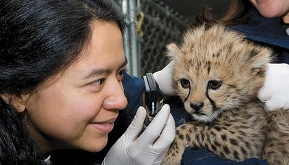 veterinarian examines a cheetah cub