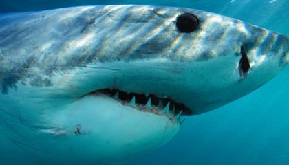 Humans Have Promoted the Reef Shark to Apex Predator
