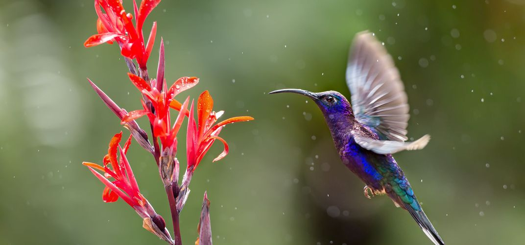One of Costa Rica's delightful hummingbirds