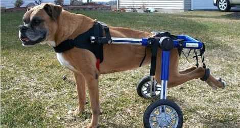 dog-wheelchair-470.jpg