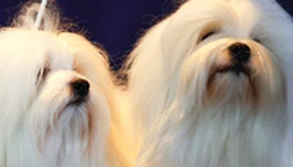 Image: Pooches prepare for top dog show