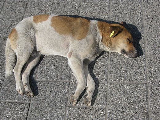One of the illustrious stray dogs of Bulgaria, neutered, rabies-free and lovin' life in Plovdiv.