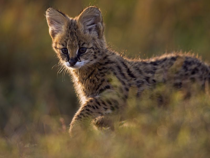 Ten Amazing Small Wild Cats | Science | Smithsonian