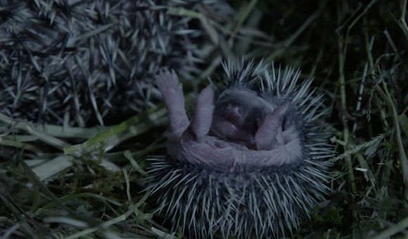 Preview thumbnail for video'Baby Hedgehog Quills Don't Harden Right Away
