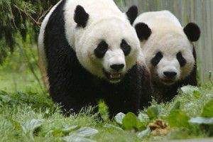 Proud Panda Parents Mei Xiang and Tian Tian