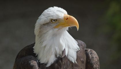 Why Bald Eagle Populations Soared in the Last Decade