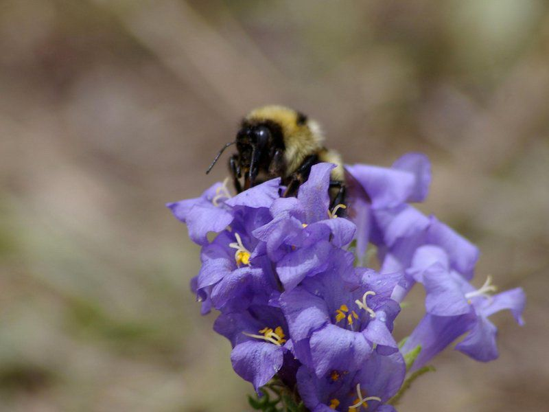 Bee tongues are getting shorter as temperatures warm