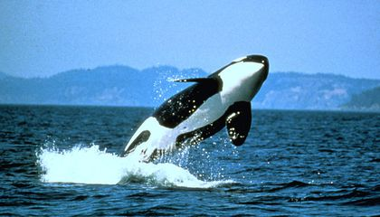Pacific Northwest Orca Population Hits 30-Year-Low