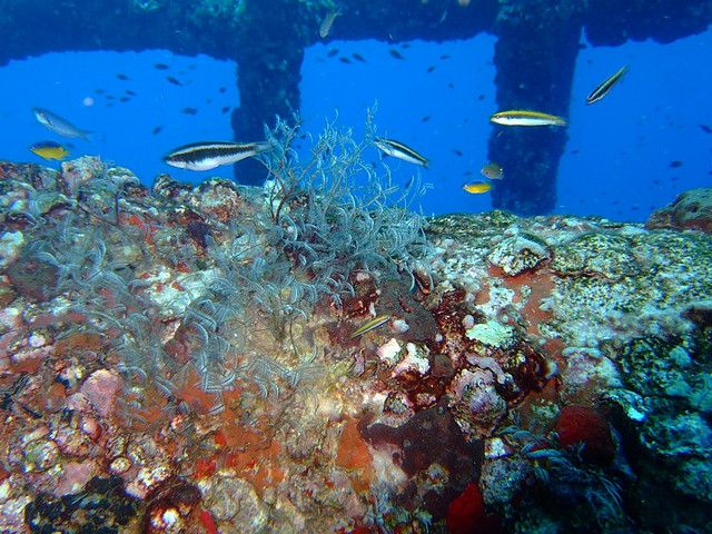 A reef ecosystem grows on an oil rig in the Gulf of Mexico.