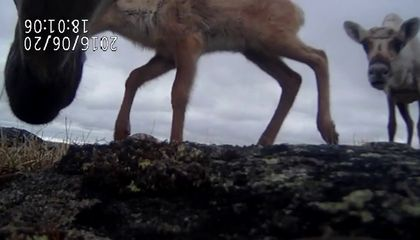How Caribou Baby Monitors Could Save a Dying Species