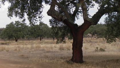 Cork Trees: Soft-Skinned Monarchs of the Mediterranean