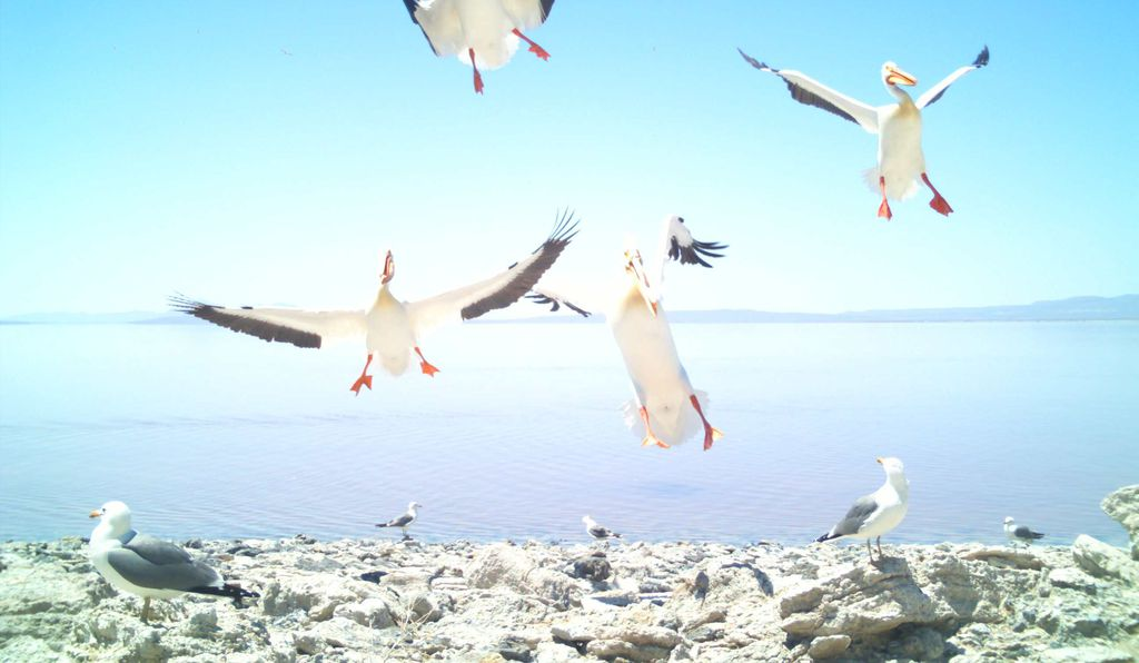 Pelicans coming in for landing via PELIcam. Researchers call it a pelican