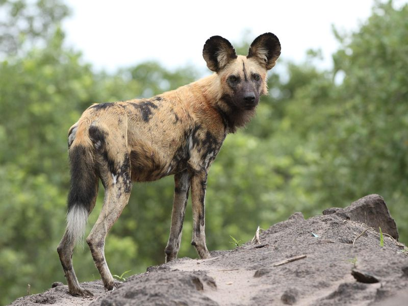 African_painted_dog,_or_African_wild_dog,_Lycaon_pictus_at_Savuti,_Chobe_National_Park,_Botswana._(32318493420).jpg
