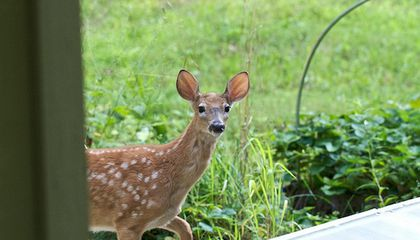 This Town Wants to Put Its Deer on Birth Control