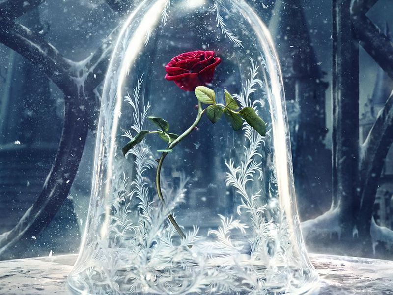 The Beasts Enchanted Rose Lasted A Decade How Long Can A Real One