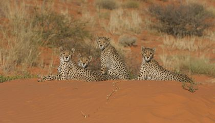 Cheetahs Spend 90 Percent of Their Days Sitting Around