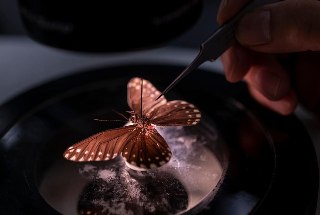 lusty brown butterfly