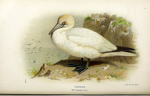 Coloured Figures of the Birds of the British Islands