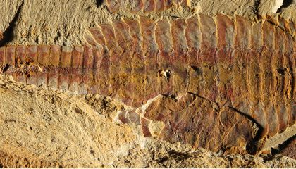Oldest Fossilized Heart Found…It Belonged to A Shrimp