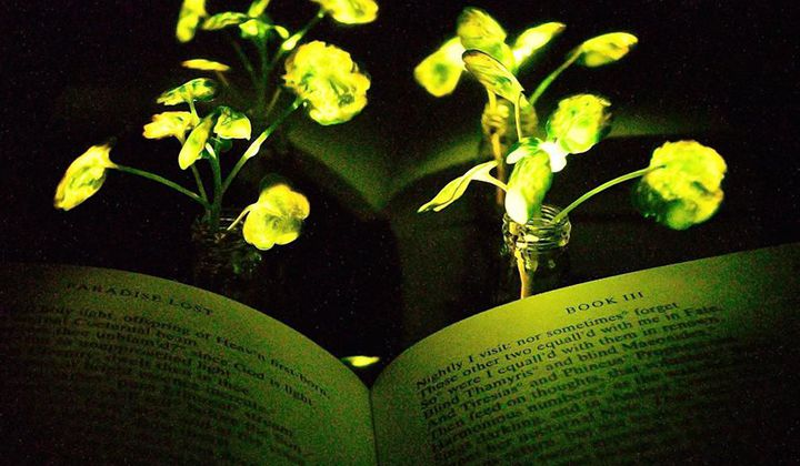 Glowing Plants Could One Day Light Our Homes
